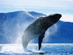 Ballena Jorobada / Humpback Whales
