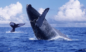 Whales jumping in the Bay of Banderas