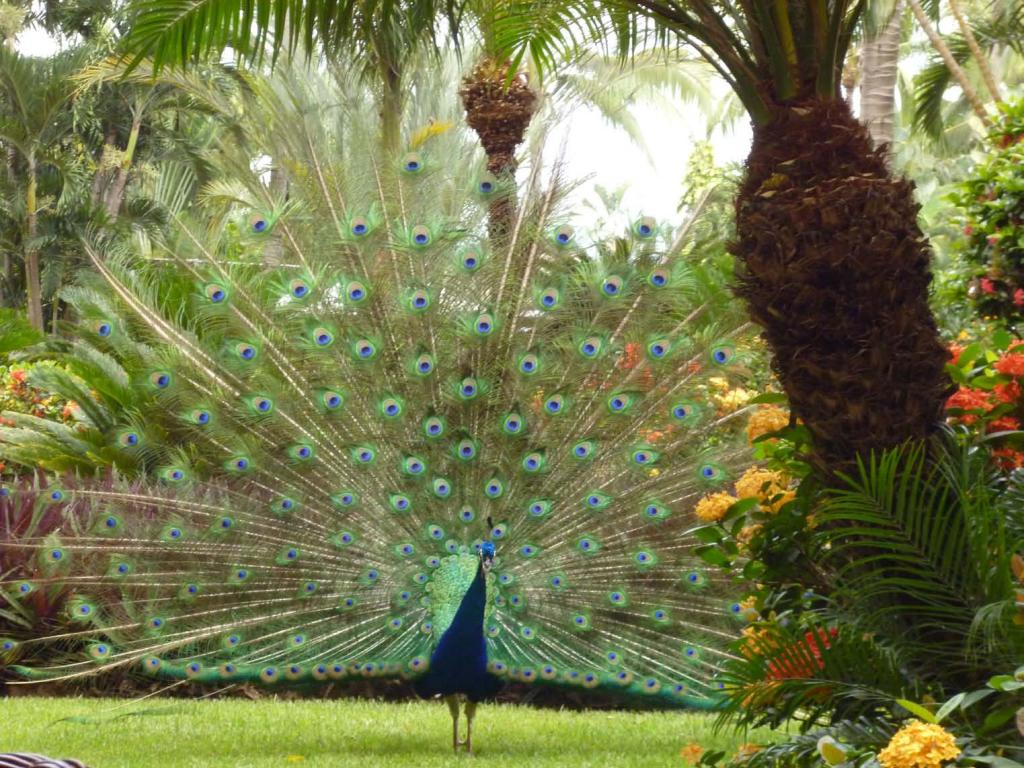 Our Fauna - Peacock