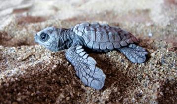 Liberacion de Tortugas