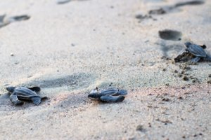 tortugas Laúd en Puerto Vallarta