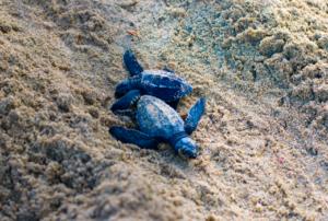 Liberación Tortuga Golfina Puerto Vallarta, México