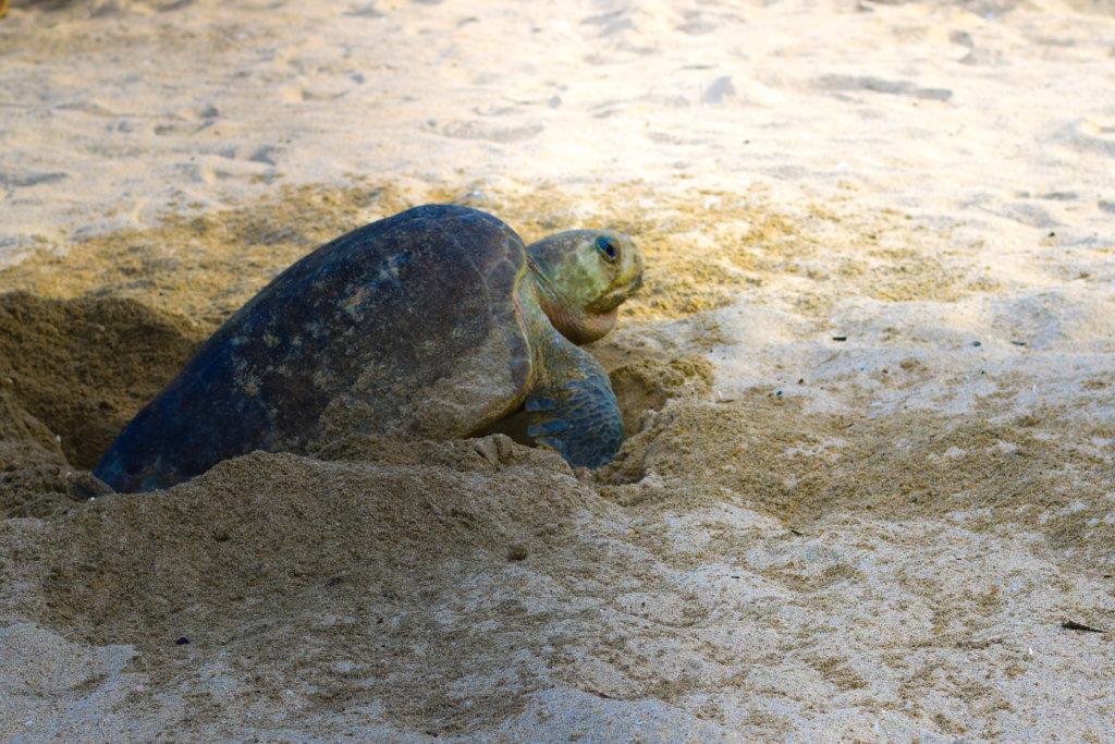 Turtles in Puerto Vallarta