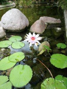 flor de loto en estanque de peces koi de Velas Vallarta